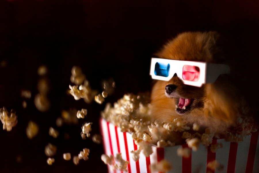 Flint Pomeranian Popcorn