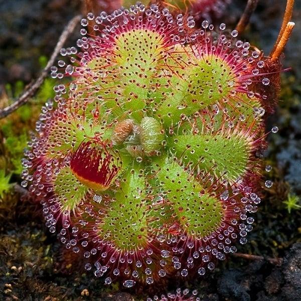Carnivorous Plants Sundew