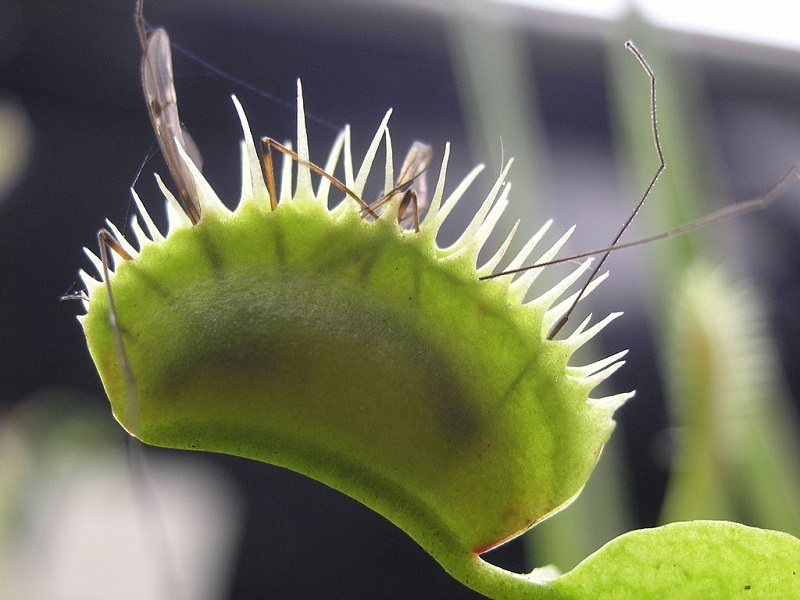 Venus Flytrap Eating Praying Mantis