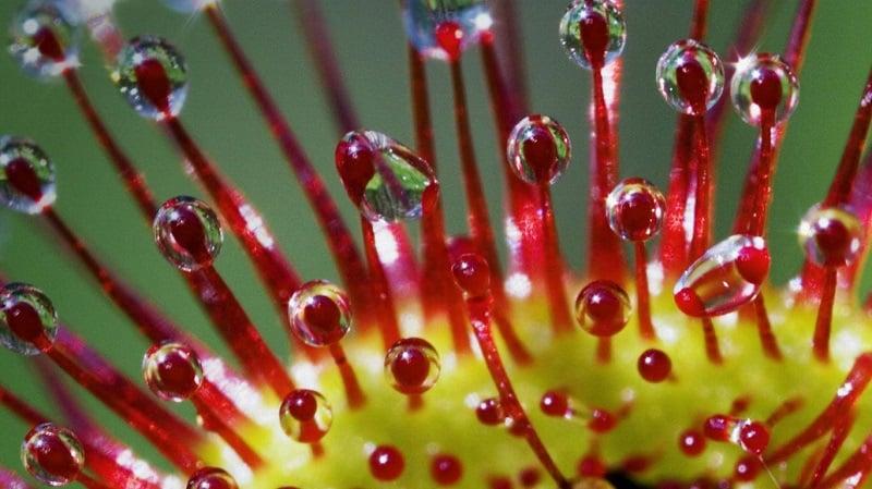 Drosera Carnivorous Plants