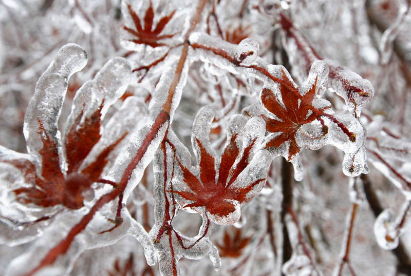 Christmas Ice Storm Leaves