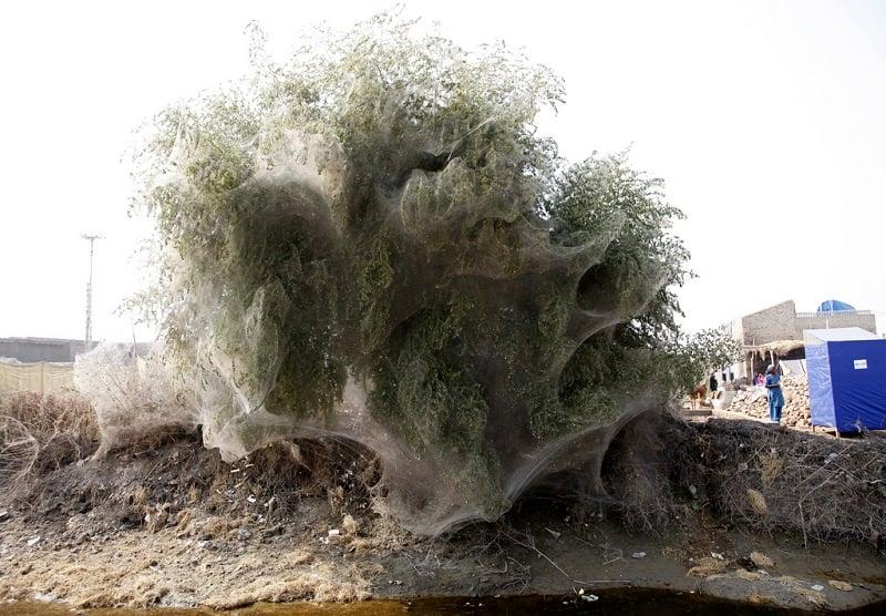 Cocooned Trees Fallen Over