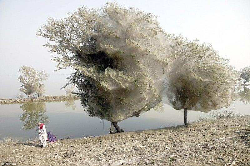 Cocooned Trees in Pakistan