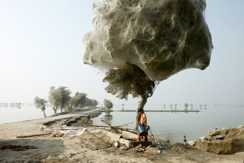 Spider Web Cocooned Trees Next to Pakistani Man