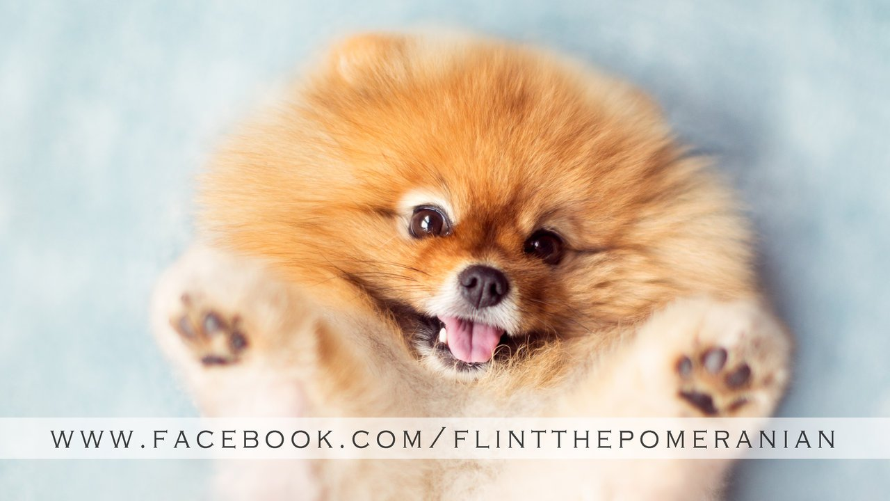 Say Hello To Flint, The Most Expressively Adorable Pomeranian Ever