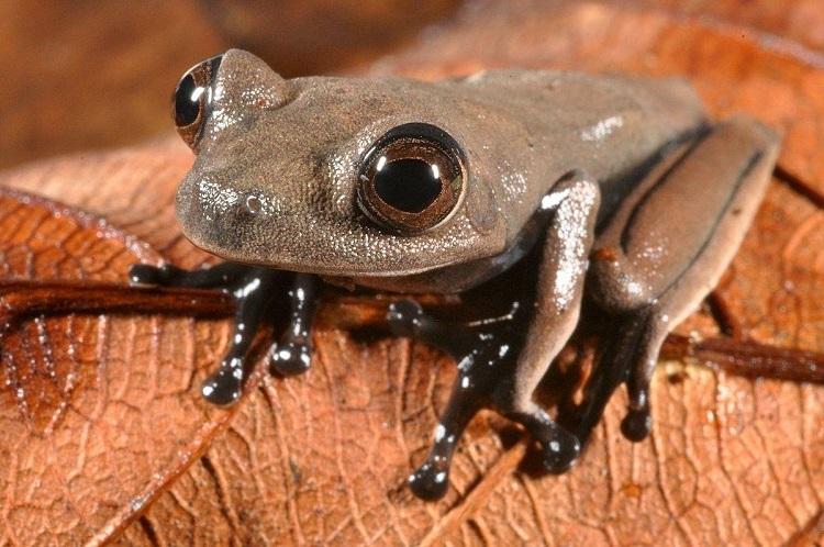 New Species Cocoa Frog
