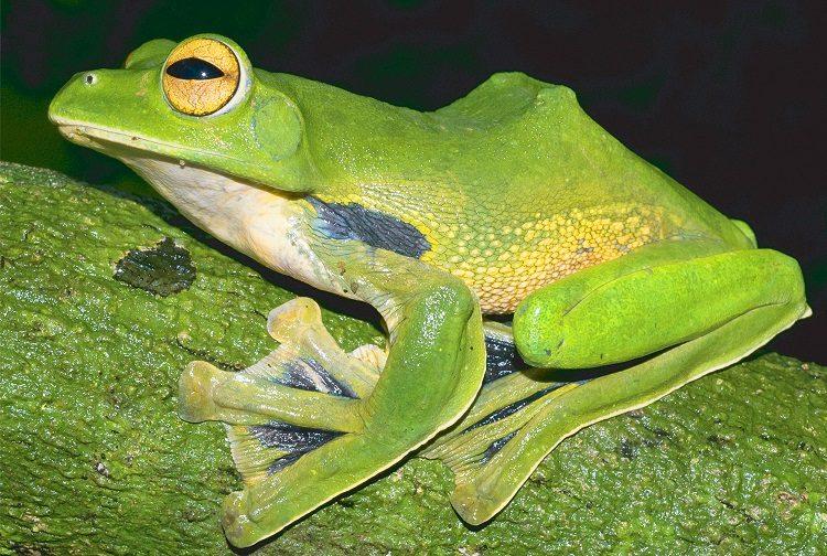New Species Helens Frog