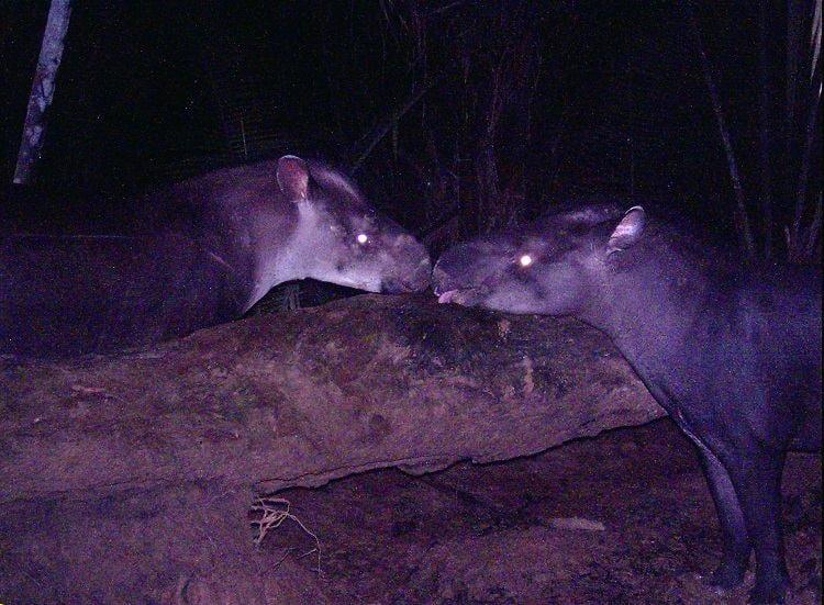 New Species Tapir