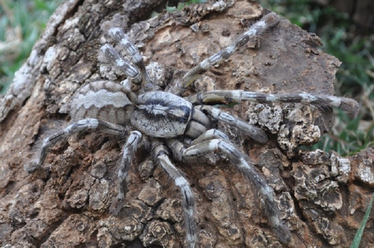 New Species Tarantula