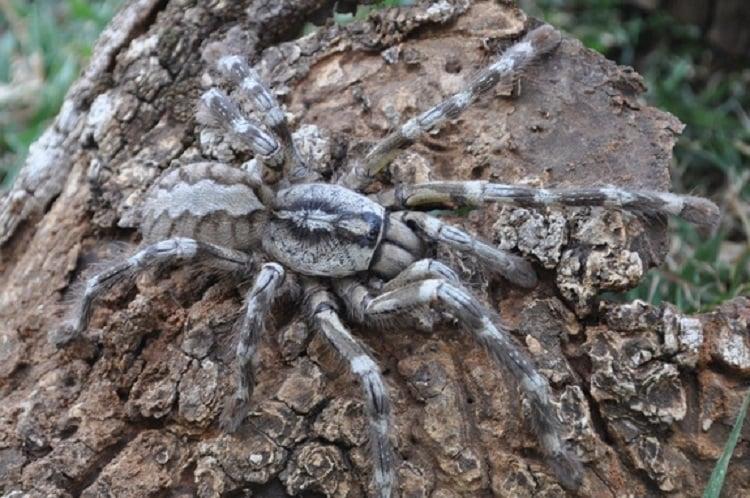 New Species Tarantula