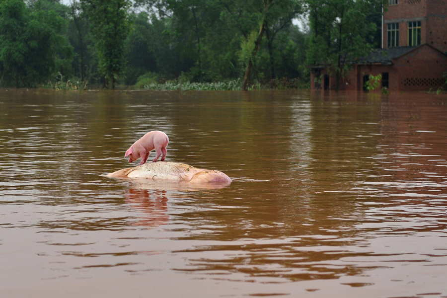 Pig In Flood
