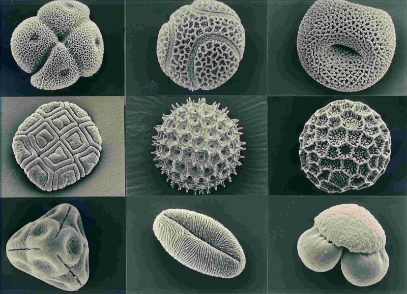 Various Pollen Grains Under Microscope