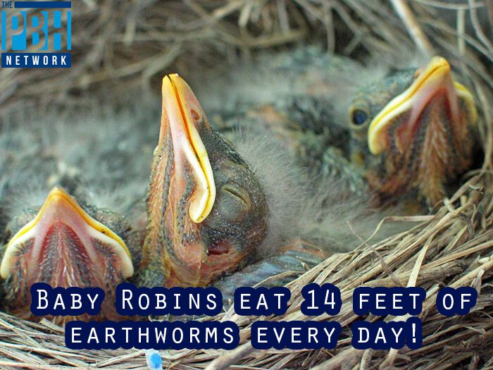 Baby Robins Earthworms Picture