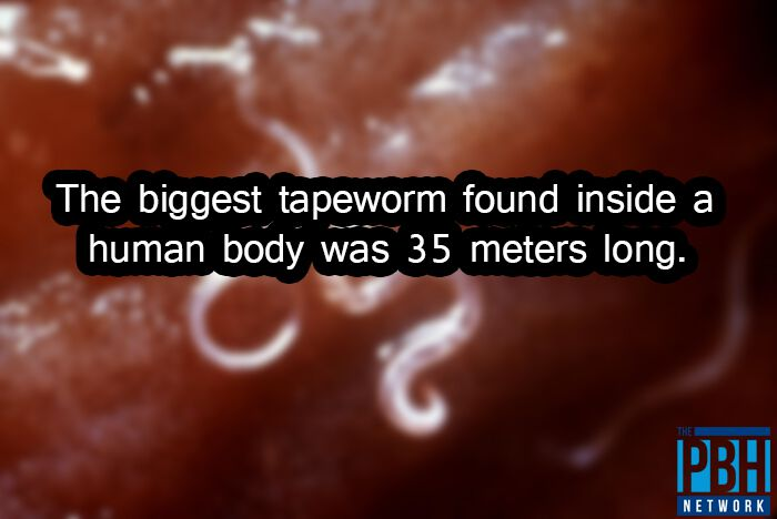 Biggest Tapeworm Interesting Facts About Life
