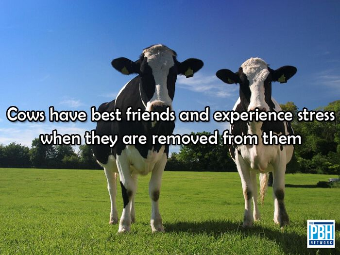 Cows Best Friends Fact