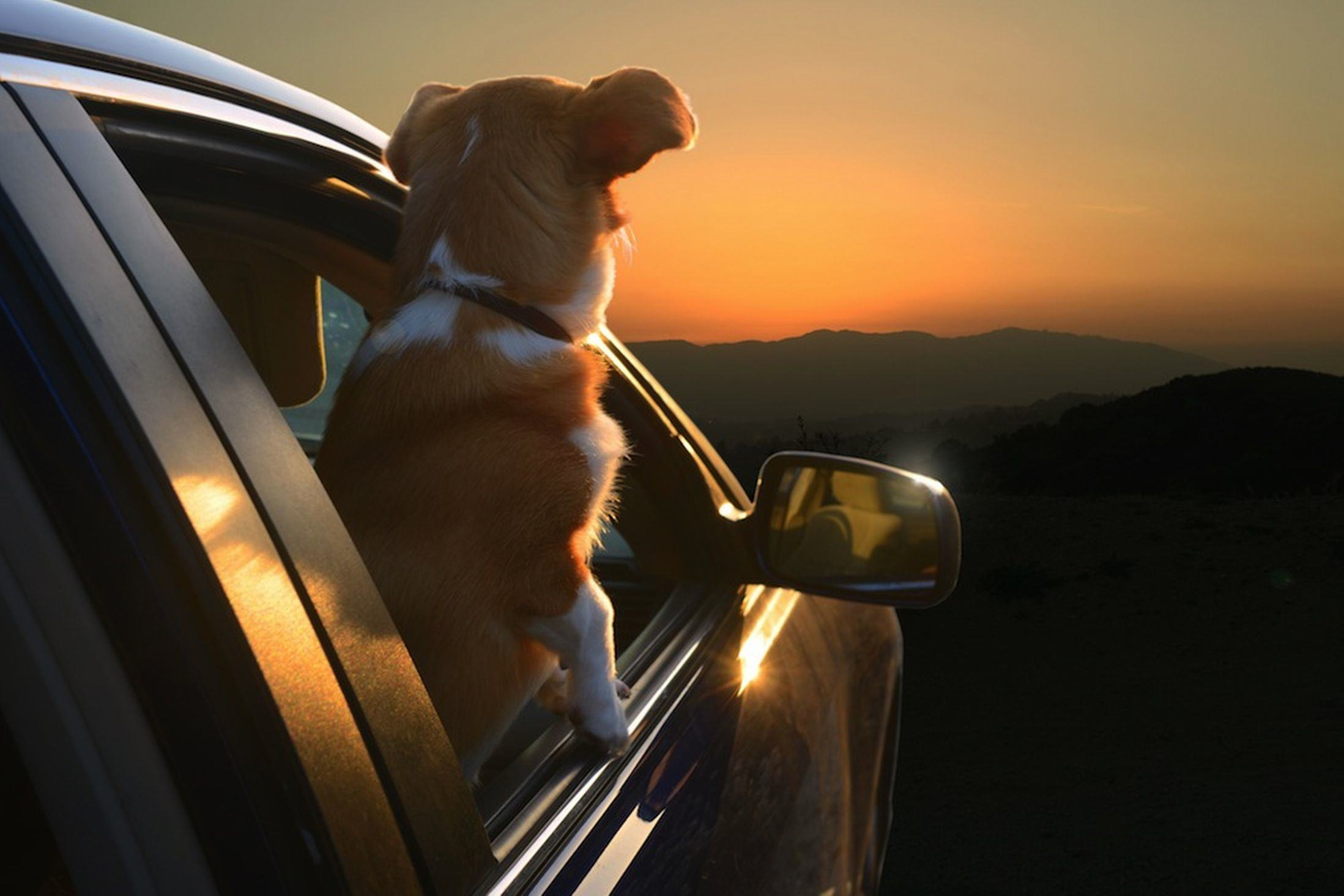 Dogs In Cars Terrier