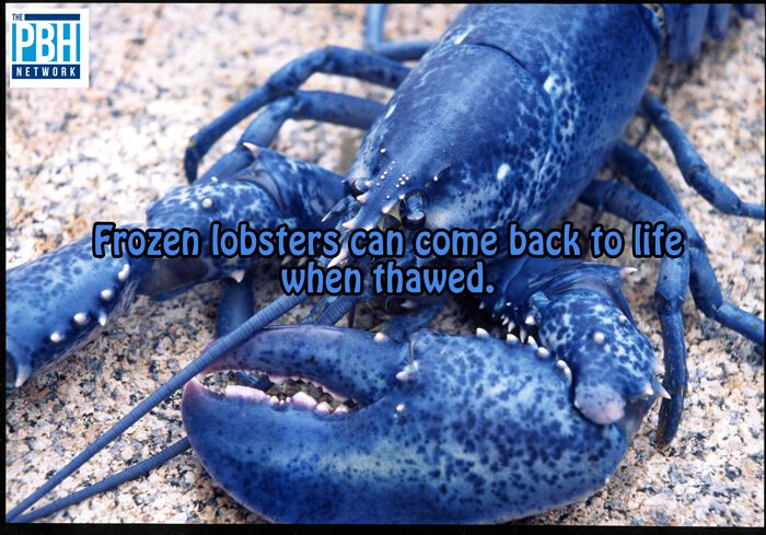 Frozen Lobsters