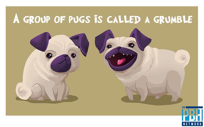 Grumble Of Pugs