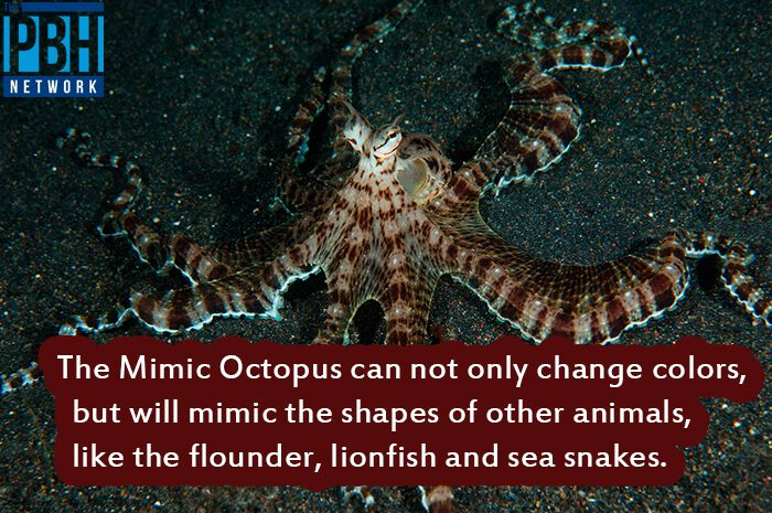 Interesting Facts Mimic Octopus