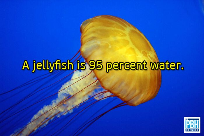 Jellyfish Are 95 Percent Water