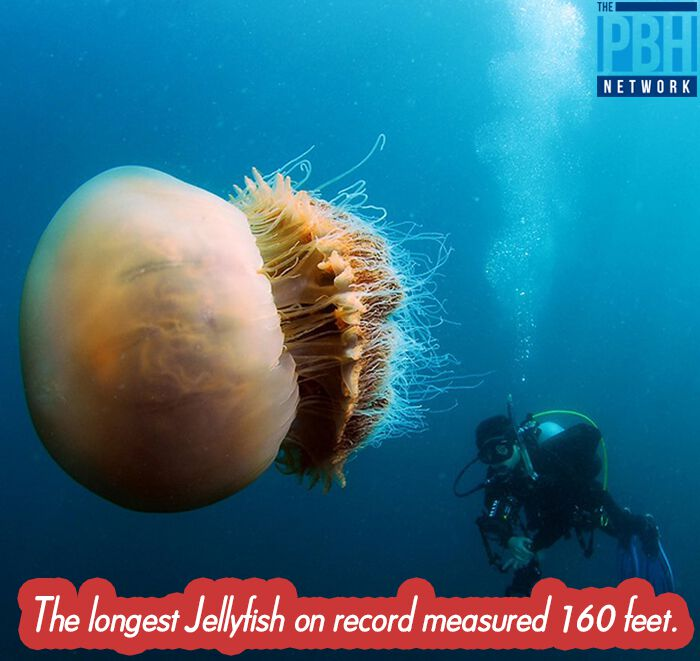 Longest Jellyfish