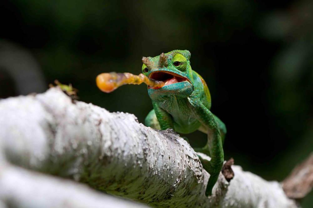Nature Conservancy Contest Chameleon