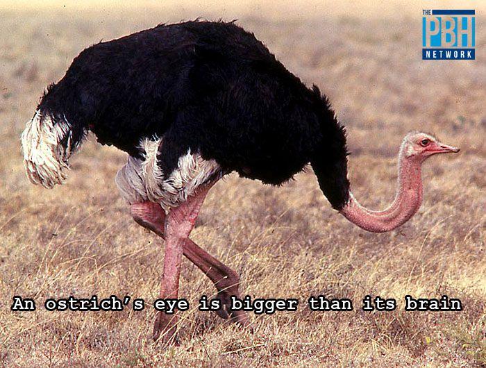 Ostrich Brain Fact