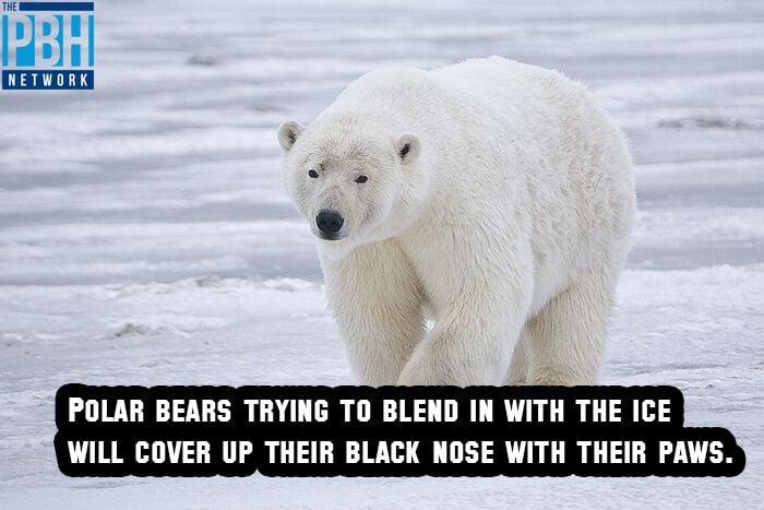 Polar Bear Camouflage