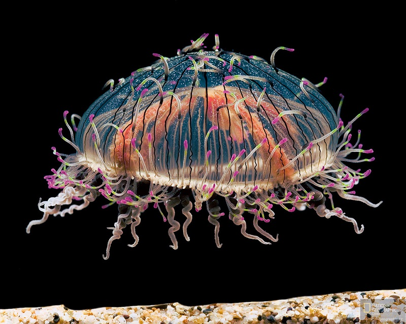 Bizarre Facts About Jellyfish Rare Flower Hat Jelly