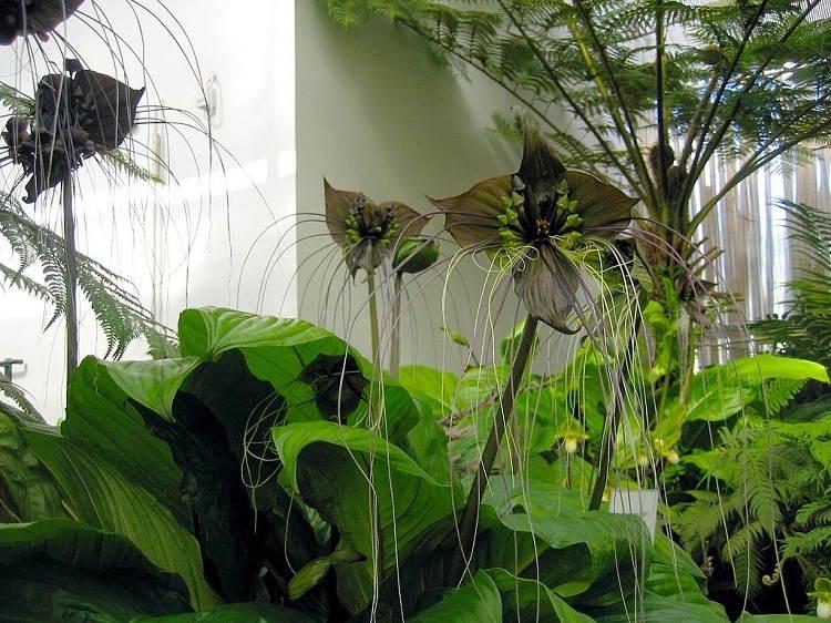 Fascinating Plants Bat Flower Group