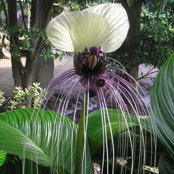 Fascinating Plants Bat Flower White