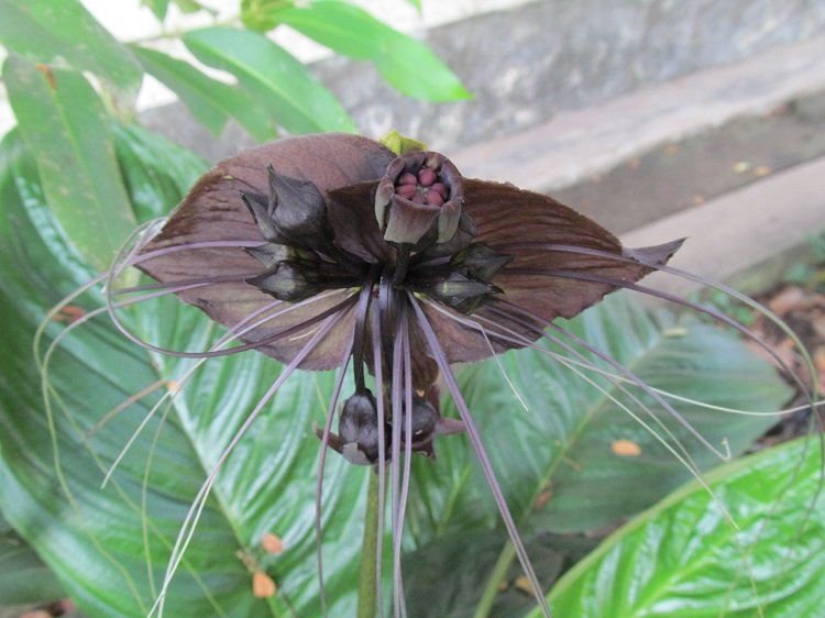Fascinating Plants Bat Flower