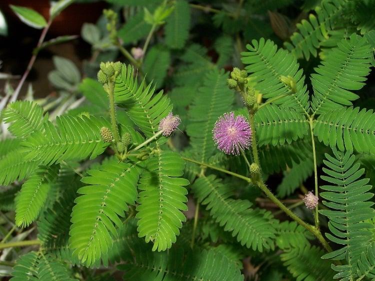 Fascinating Plants Sensitive