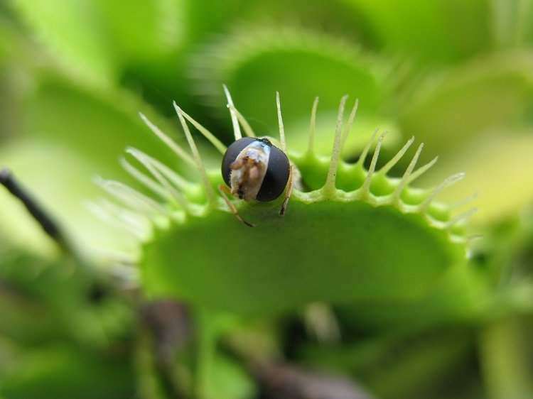 Interesting Plants Venus Fly Trap