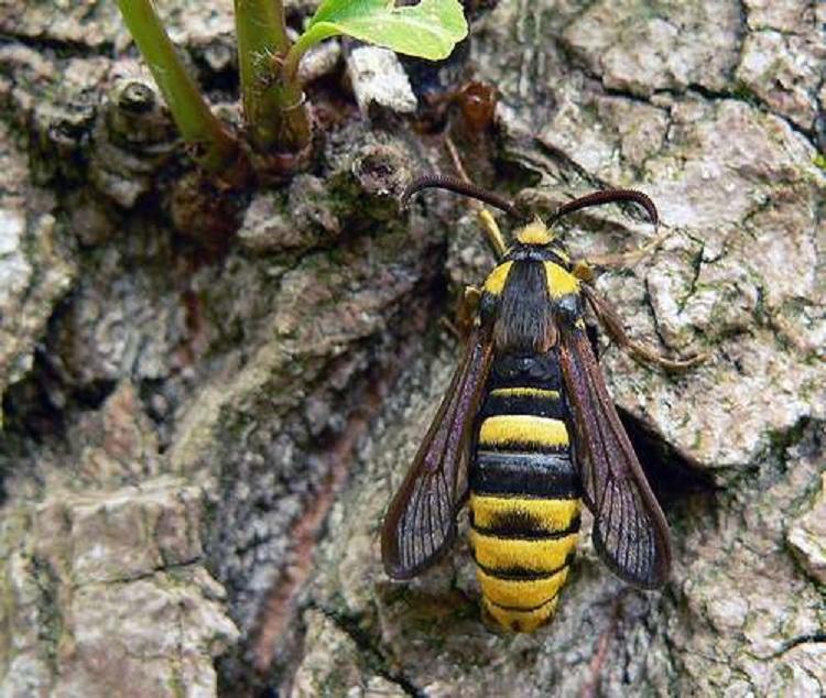 Moth Species Hornet On Tree