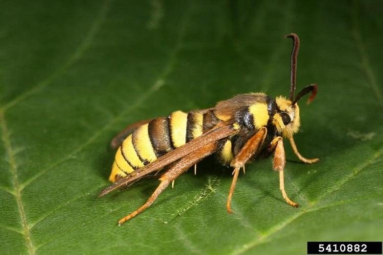 Moth Species Hornet