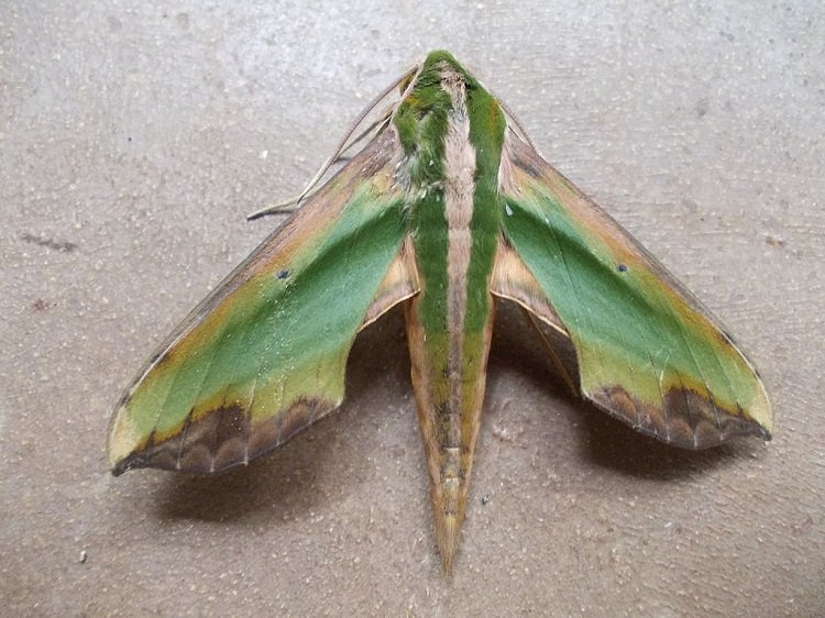 8 Of The Worlds Weirdest And Most Beautiful Moth Species