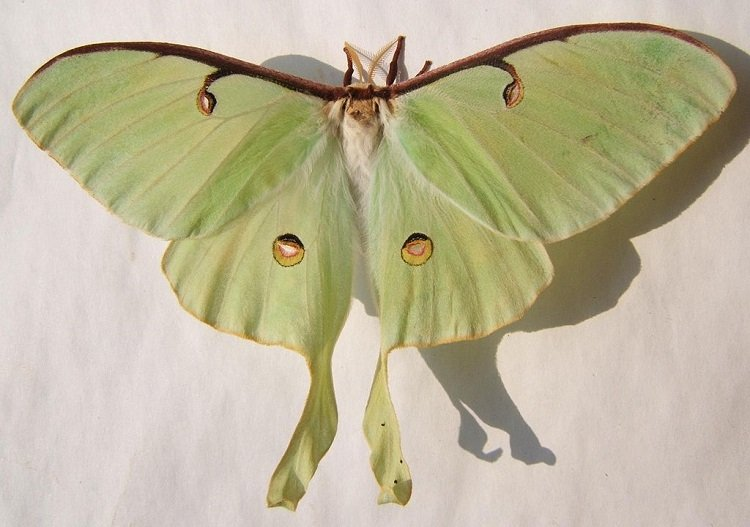 Luna Moth Species