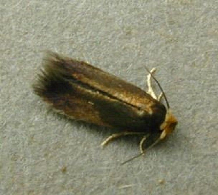 Sorrel Moth Species