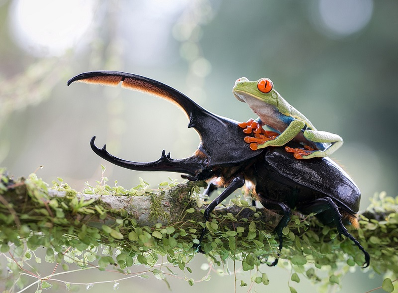 Frog Riding a Beetle Photography Award