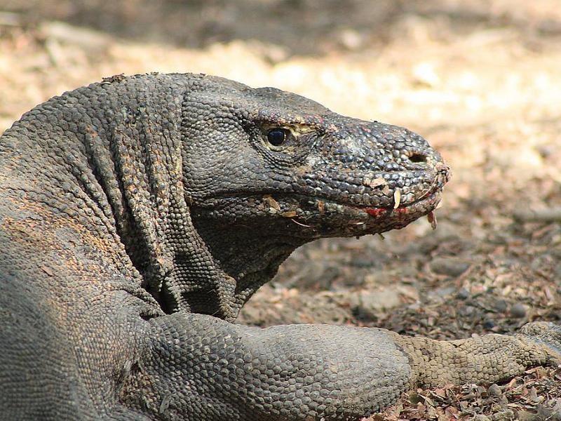 Three Places Komodo Dragon