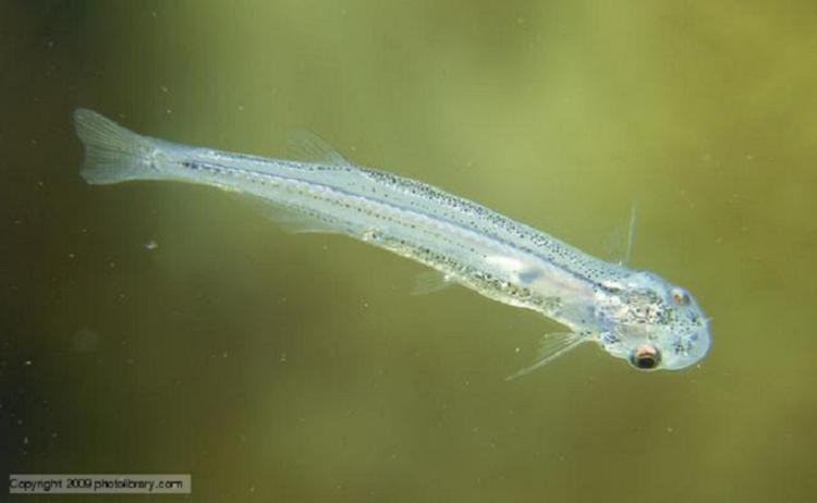 Weird Parasites Candiru Swimming