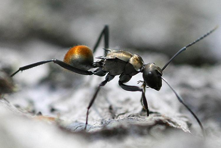 Weird Parasites Lone Ant