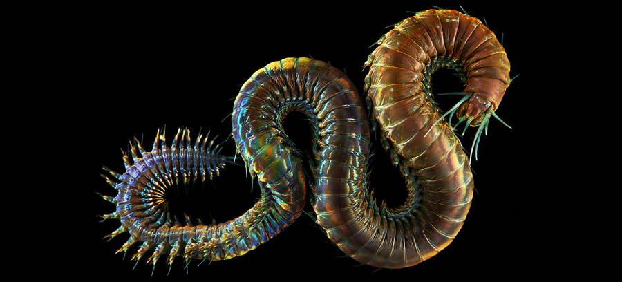 Deep Sea Photography Dragon Worm