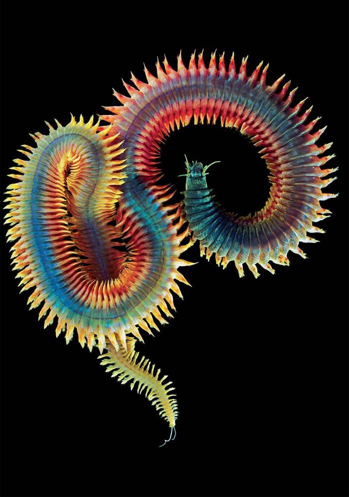 Deep Sea Photography Rainbow Worm