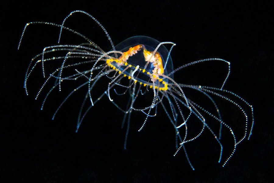 Deep Sea Photography Translucent Spider