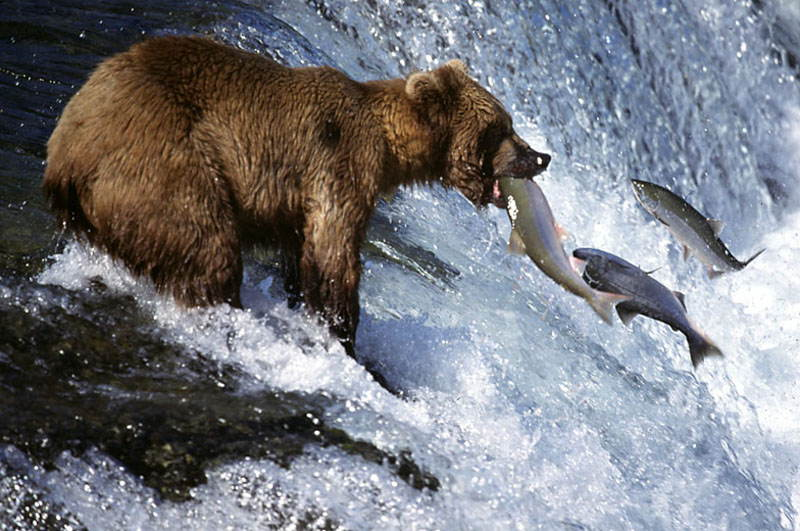 Amazing Natural Events Salmon Run