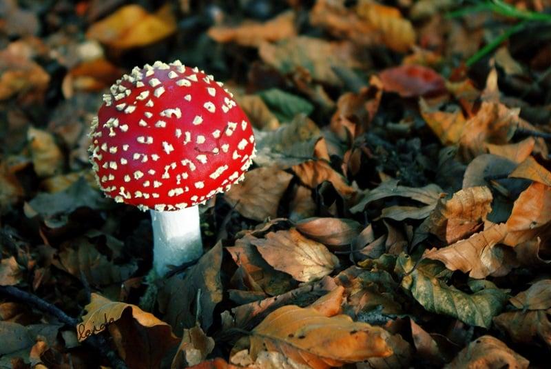 Amanita muscaria, Source: Bob Keller Photography