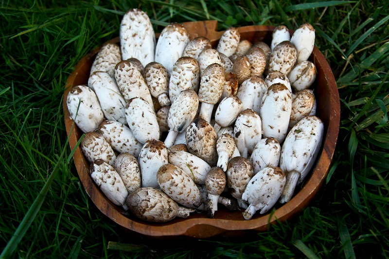 Coprinus Comatus Weird Mushrooms
