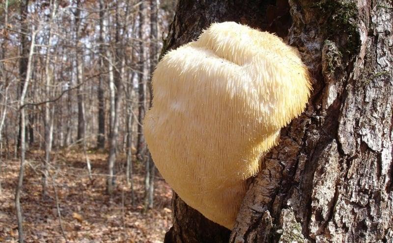 Hericium erinaceus Fungus